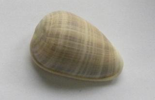 Marginella (Lamarck, 1799) - Pour les collectionneurs de Marginelles Dscn6313