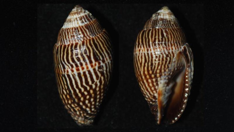 Strigatella retusa - (Lamarck, 1811)  Mitra_18