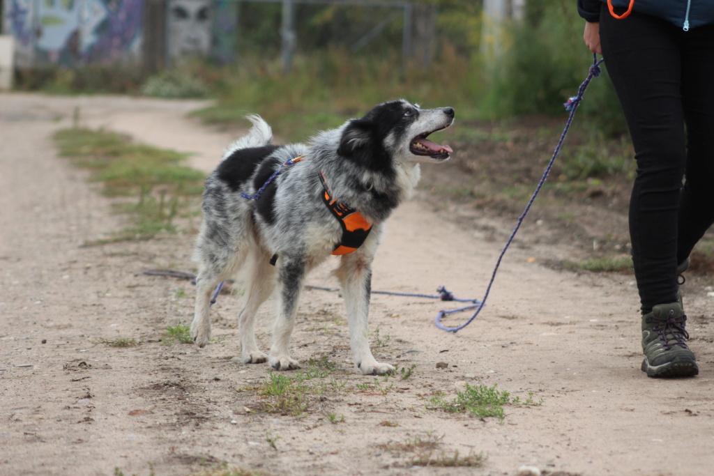 Scottie - mâle - Fourrière de Târgu Frumos - Frais d'adoption réduits - En famille d'accueil dans le 67 Img_7910