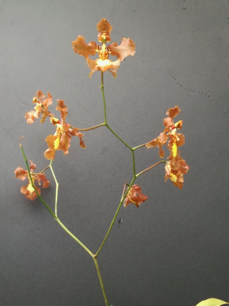 Oncidium crispum 1152_o10