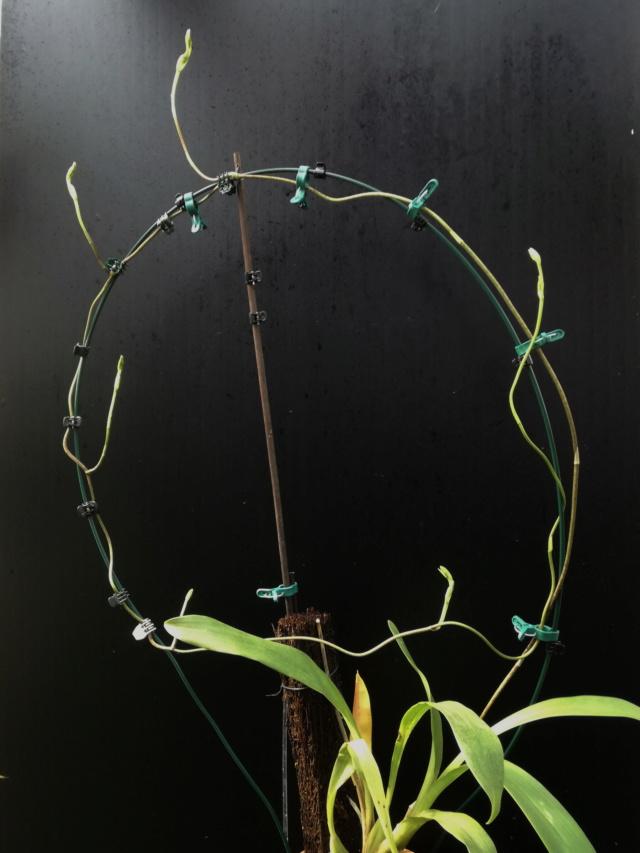 Cyrtochilum serratum Cyrtoc11