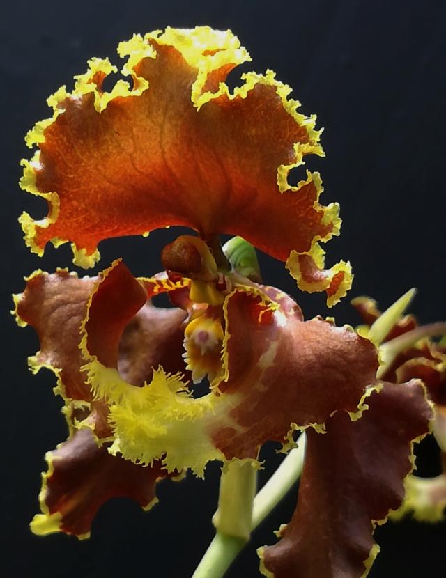 Cyrtochilum serratum Cyrtoc13
