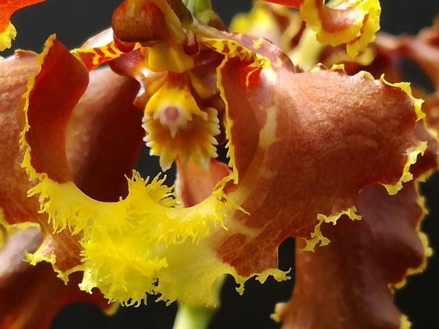 Cyrtochilum serratum Cyrtoc14