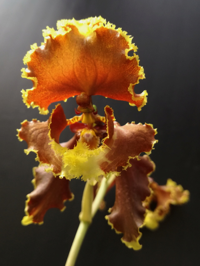Cyrtochilum serratum Cyrtoc15