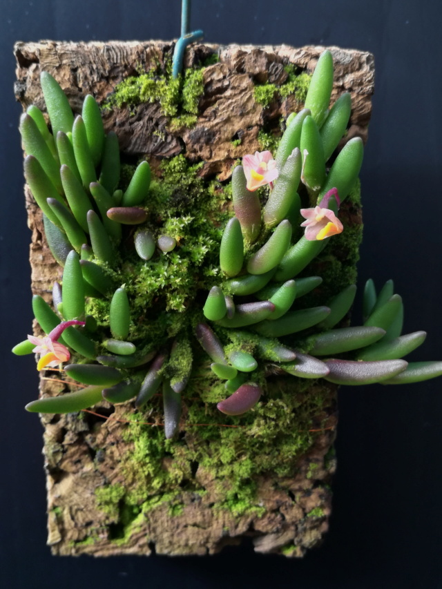 Dendrobium lichenastrum Dendr107