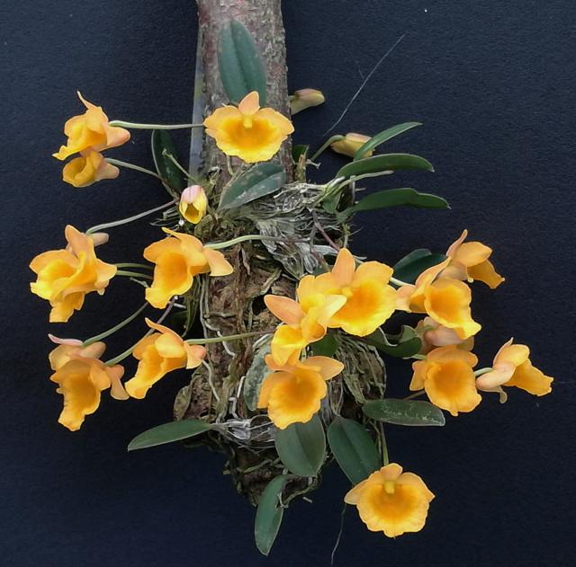 Dendrobium jenkinsii Wallich ex Lindley 1839 Dendro48