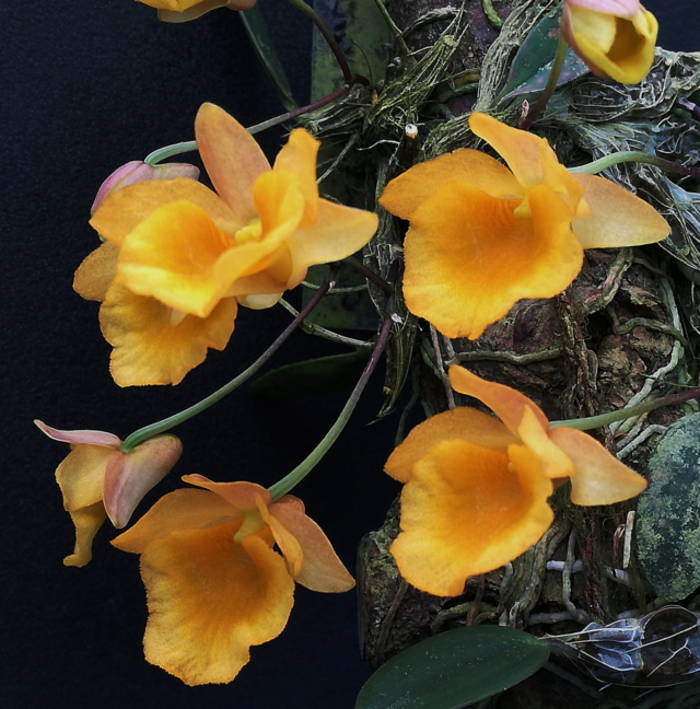 Dendrobium jenkinsii Wallich ex Lindley 1839 Dendro49