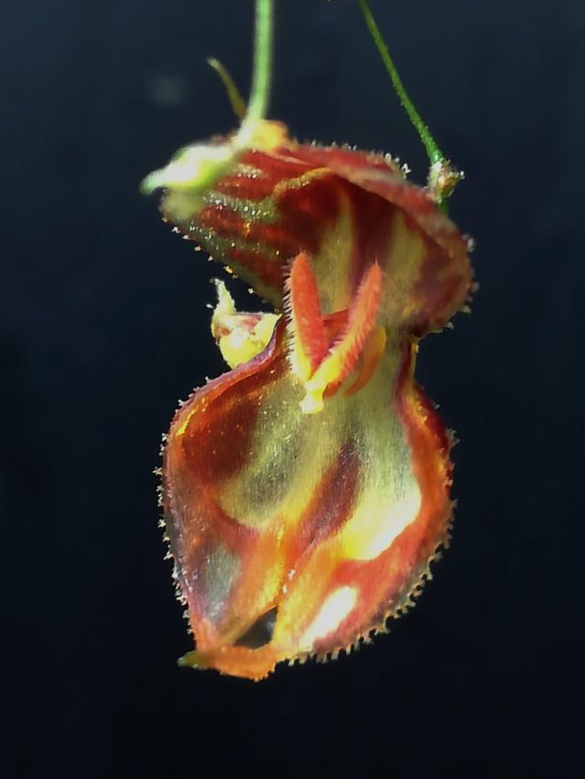 Lepanthes nycteris Lepant13