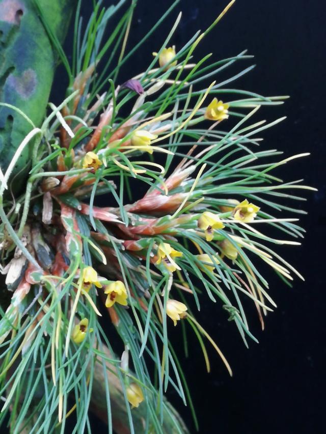 Maxillaria vitelliniflora Maxill16