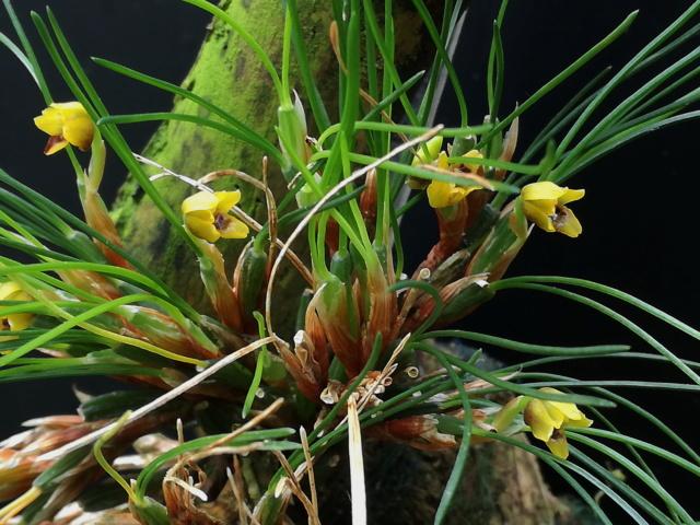 Maxillaria vitelliniflora Maxill24
