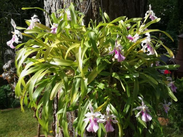 Miltonia spectabilis  Milton12