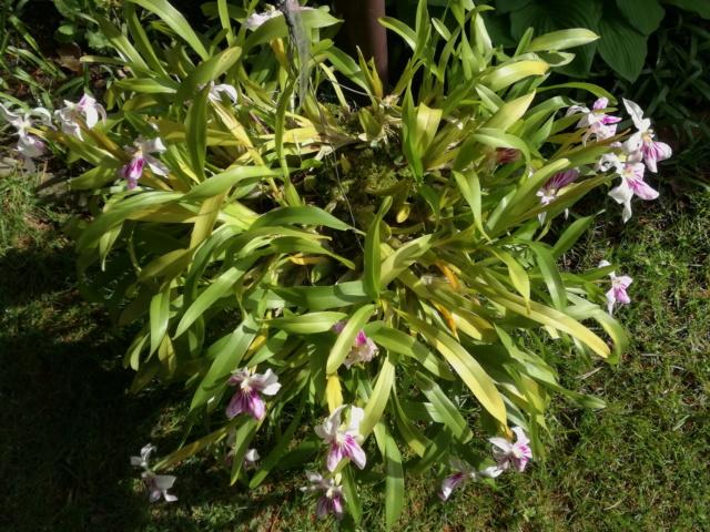Miltonia spectabilis  Milton13
