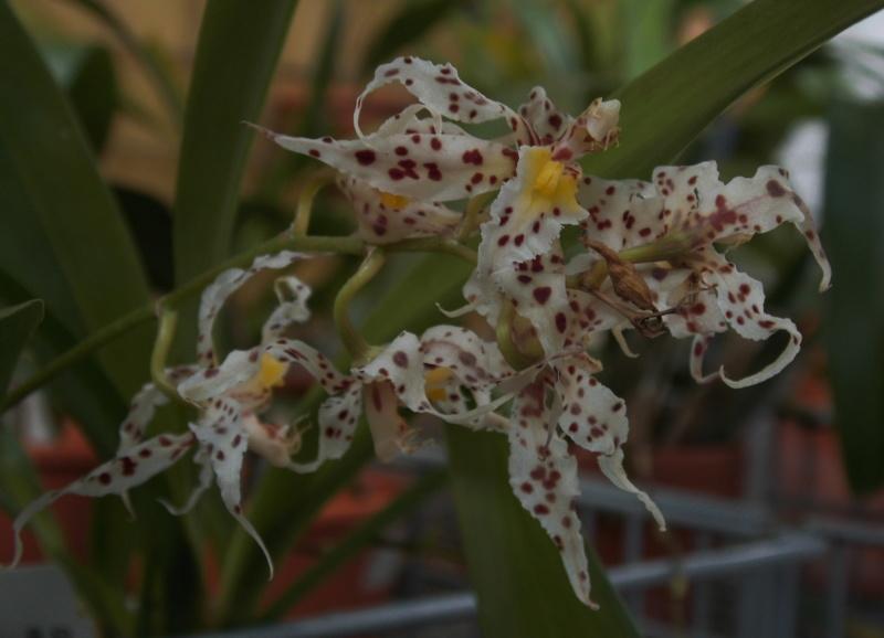 Odontoglossum naevium Odonto13