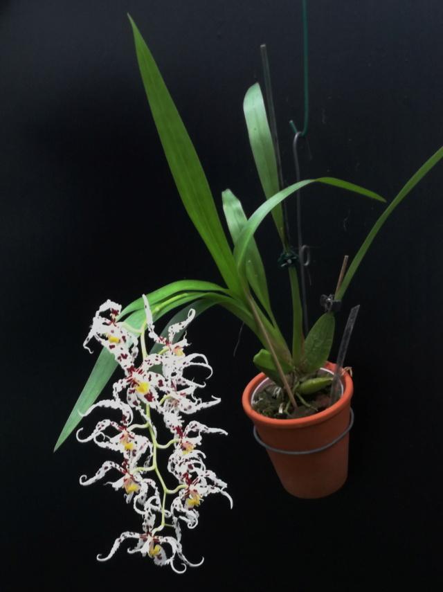 Odontoglossum naevium Odonto21