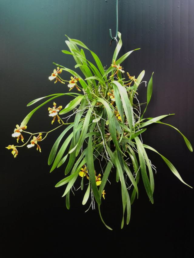 Oncidium croesus Oncid107