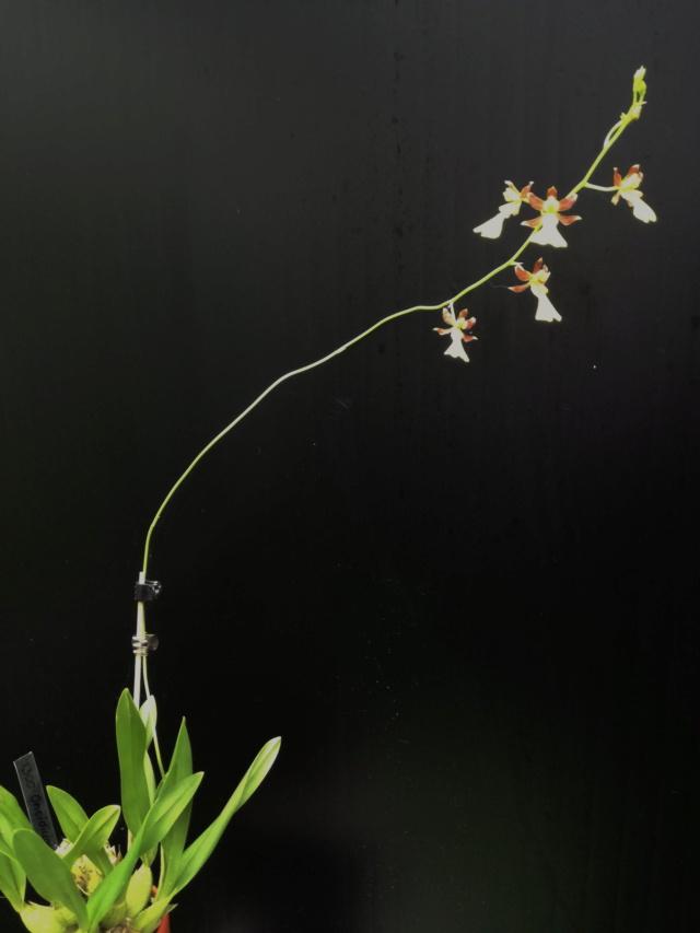 Oncidium gracile Oncid169
