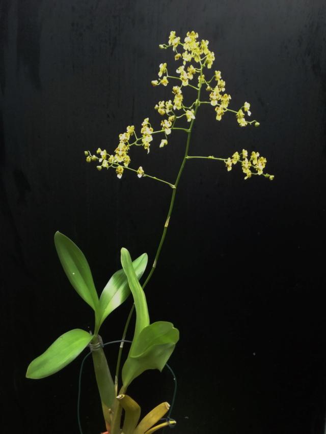 Oncidium venustum/trulliferum Oncid179