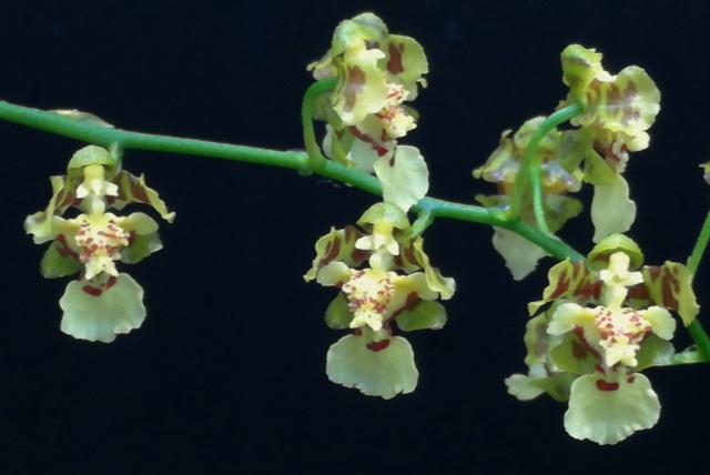 Oncidium venustum/trulliferum Oncid180