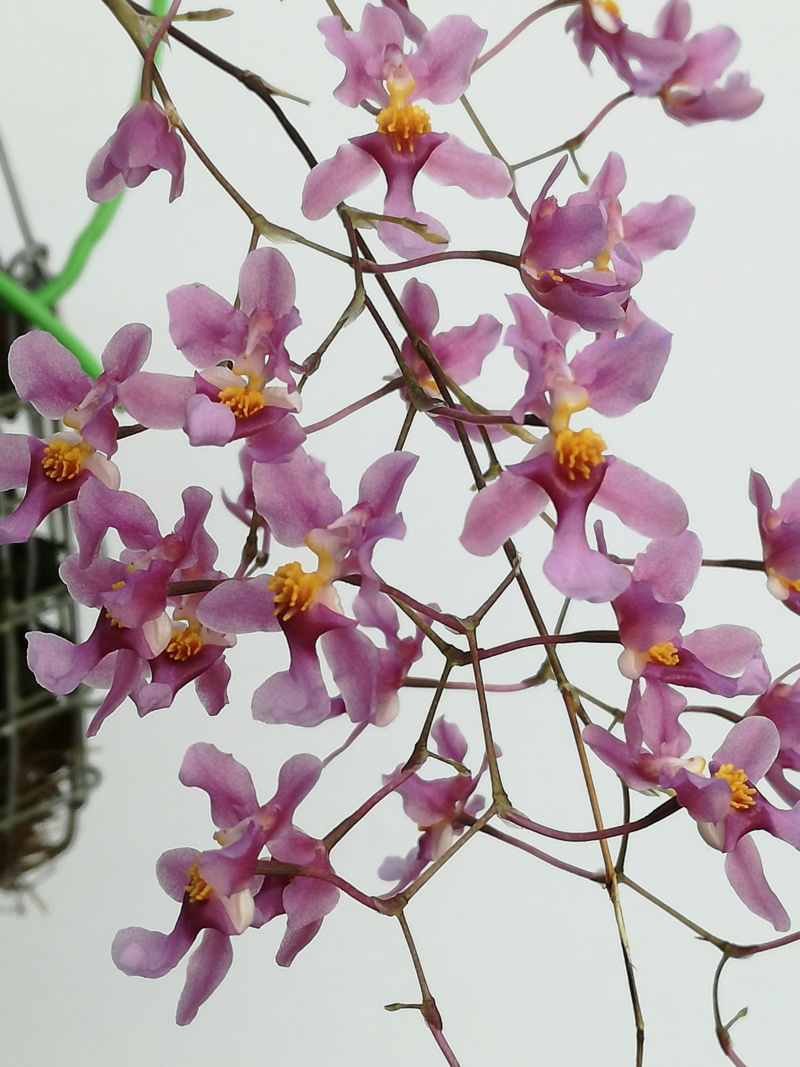 Oncidium sotoanum (syn. Onc.  ornithorhynchum hort.) Oncidi16