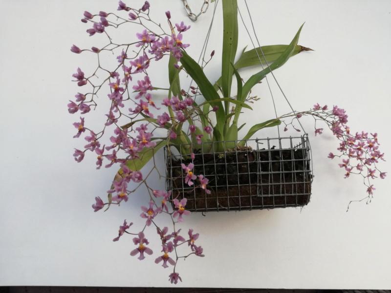 Oncidium sotoanum (syn. Onc.  ornithorhynchum hort.) Oncidi17
