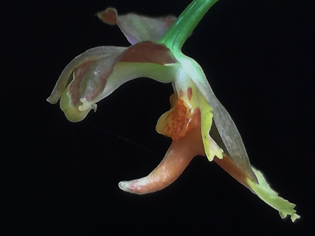 Oncidium longicornu Oncidi65