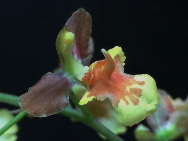 Oncidium longicornu Oncidi66