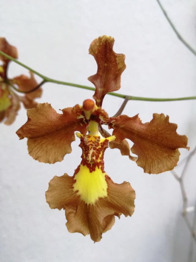 Oncidium crispum Oncidi86