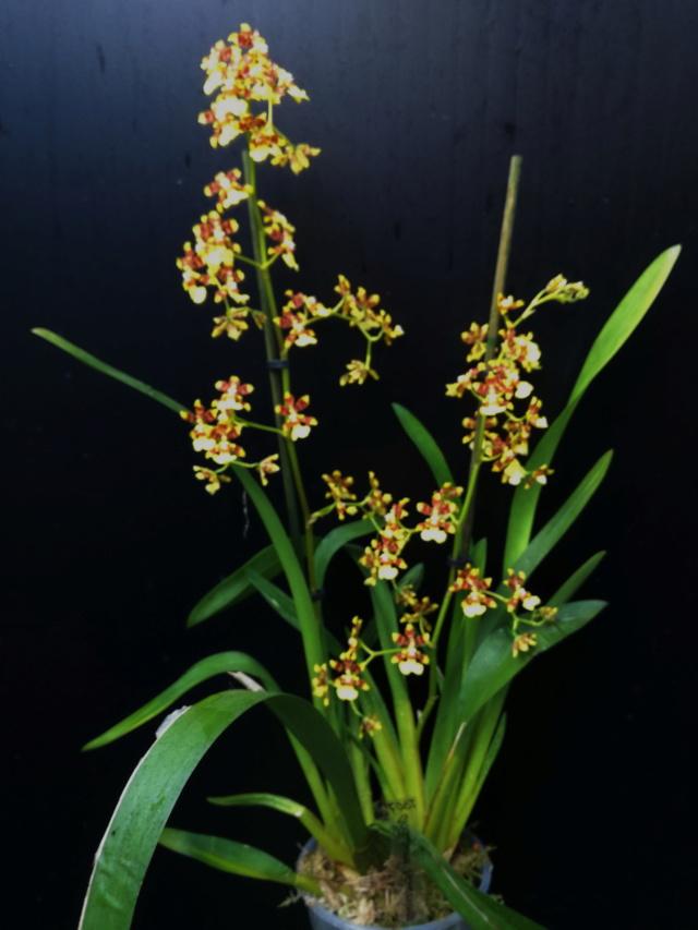 Oncidium tipuloides Oncidi92
