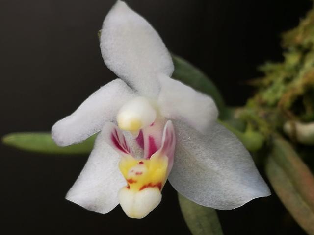 Pteroceras semiteretifolia Pteroc10