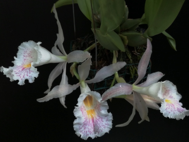 Trichopilia suavis Tricho11