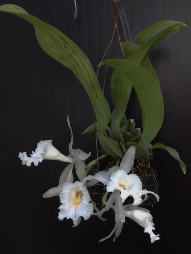 Trichopilia suavis Tricho12