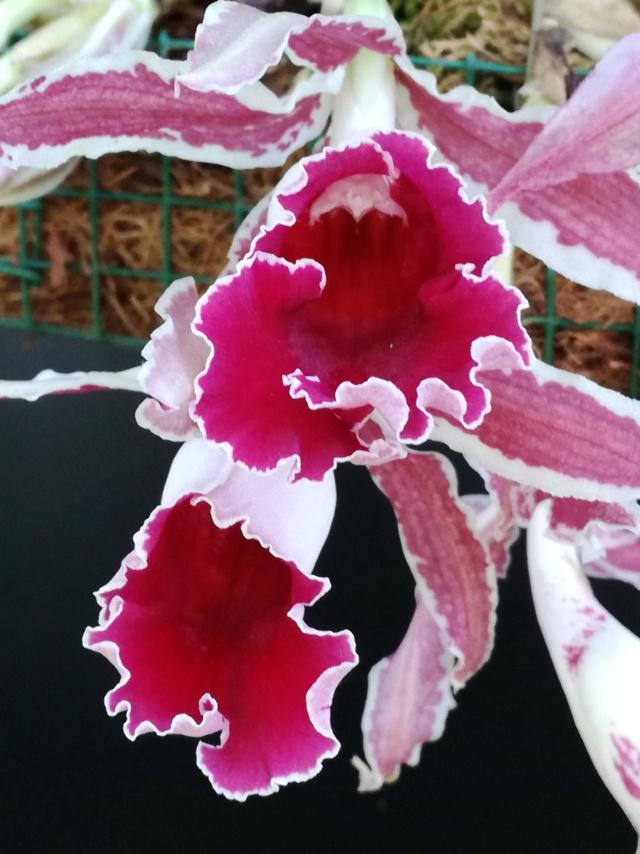 Trichopilia marginata Tricho14