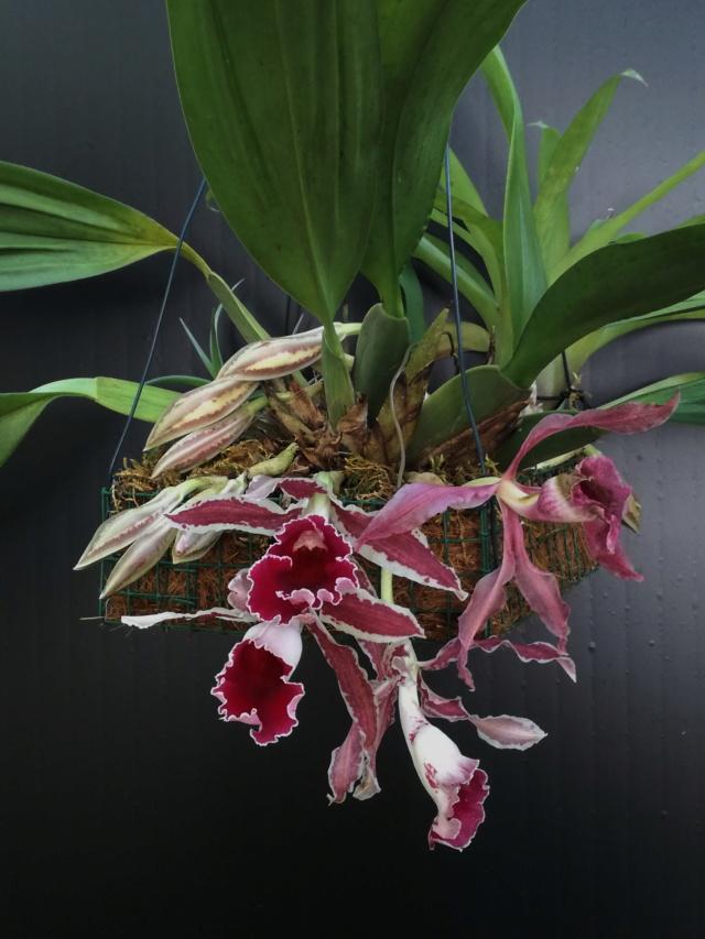 Trichopilia marginata Tricho15