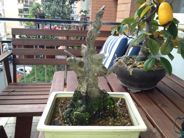 Prunus mume Image13