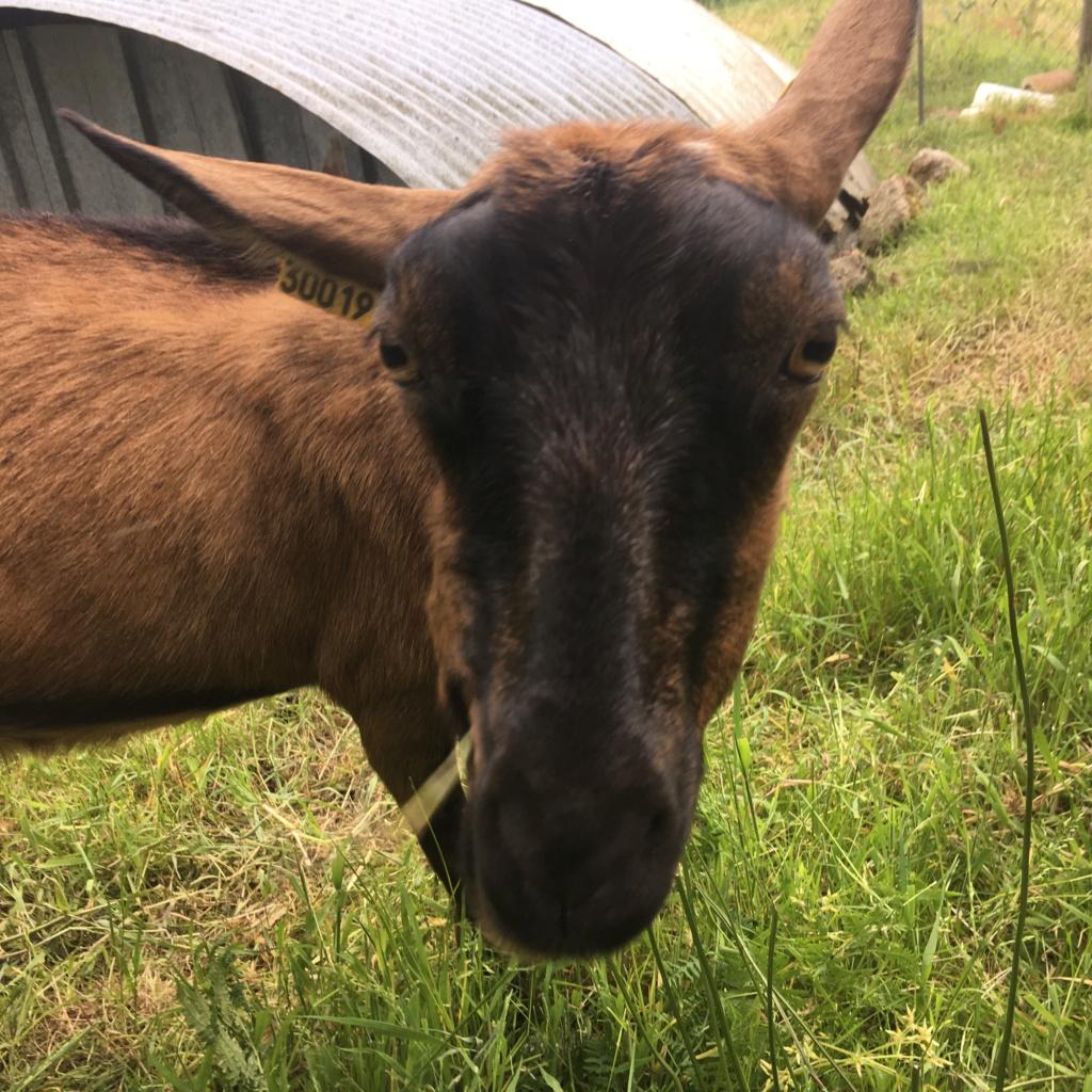 IDEM - Chèvre réformée d'élevage 08fbdf10
