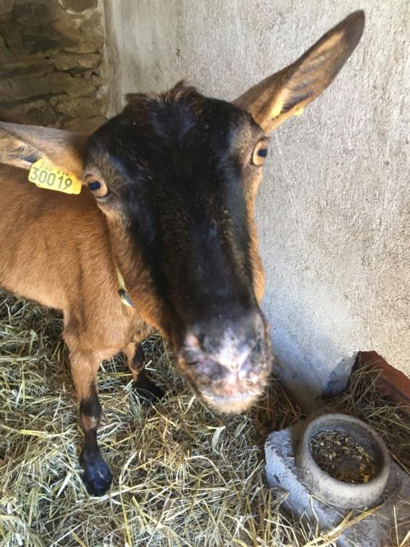 IDEM - Chèvre réformée d'élevage - Page 2 0f6d7e10