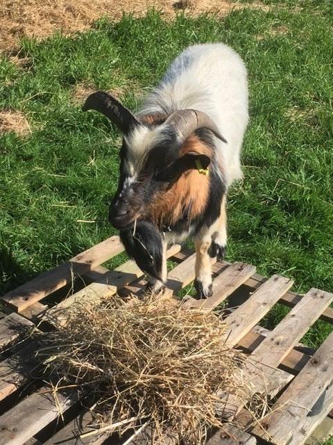 BRICK & BUNAMA - Chèvre et bouc nains 1525cb10