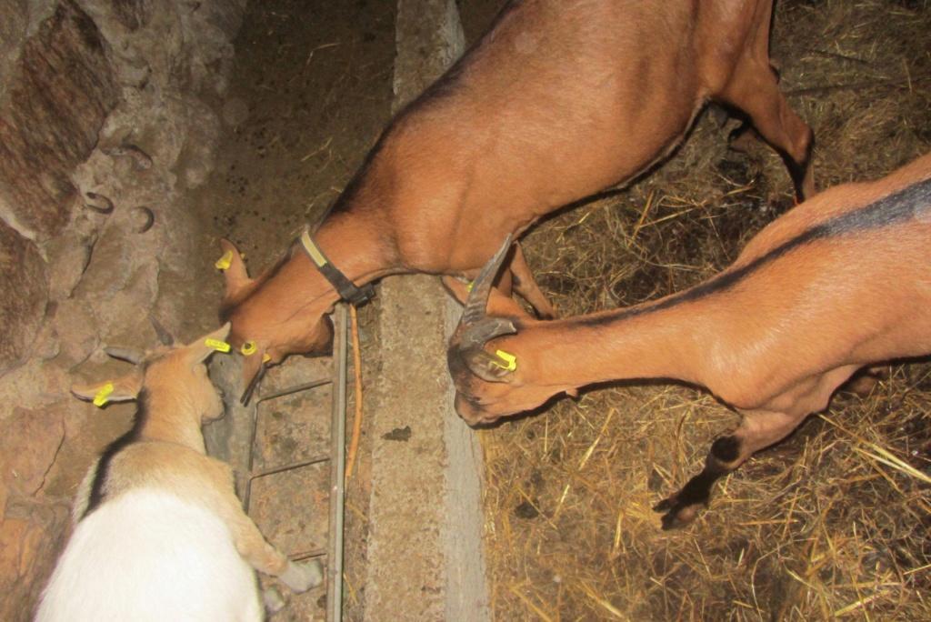 INNOCENTE & PRUNELLE - Chèvres alpines 1c0bf010