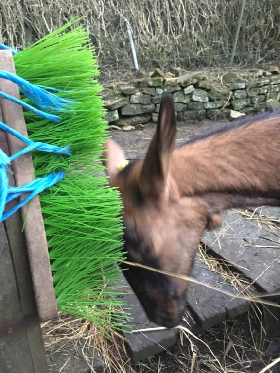 IDEM - Chèvre réformée d'élevage 2767e710