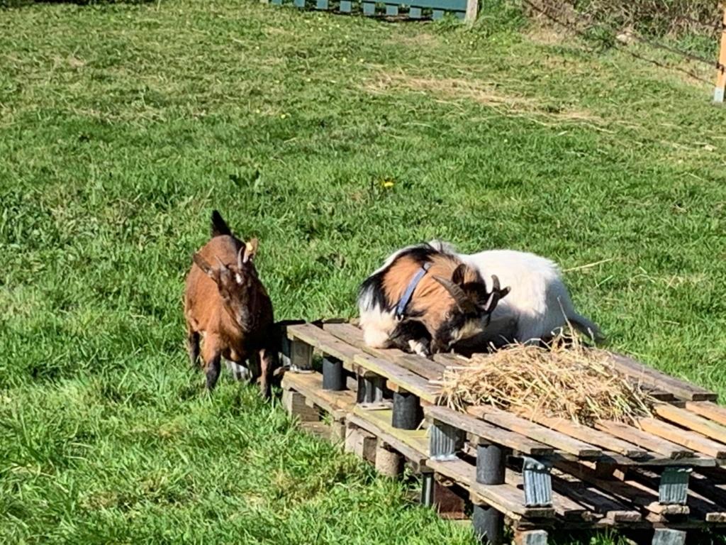 BRICK & BUNAMA - Chèvre et bouc nains 30731510