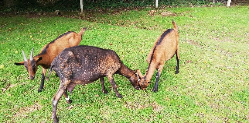 LOLA - Chèvre réformée d'élevage - RESERVEE 3442cc10