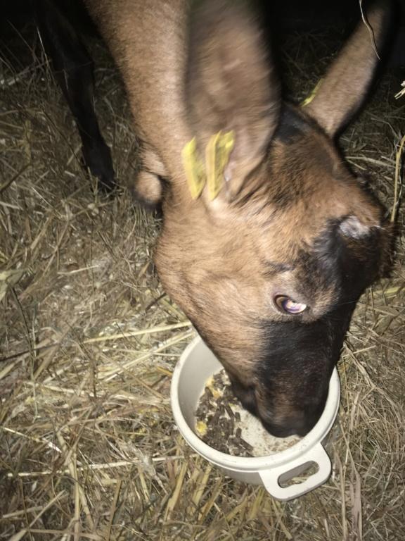 IDEM - Chèvre réformée d'élevage 3c7d8610