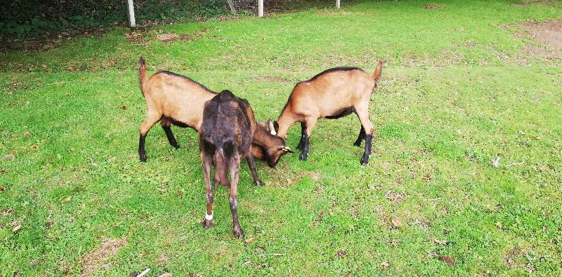 COQUELICOT - Fille de Mort de Rire (Réformée d'élevage) -.RESERVEE 3d58f110