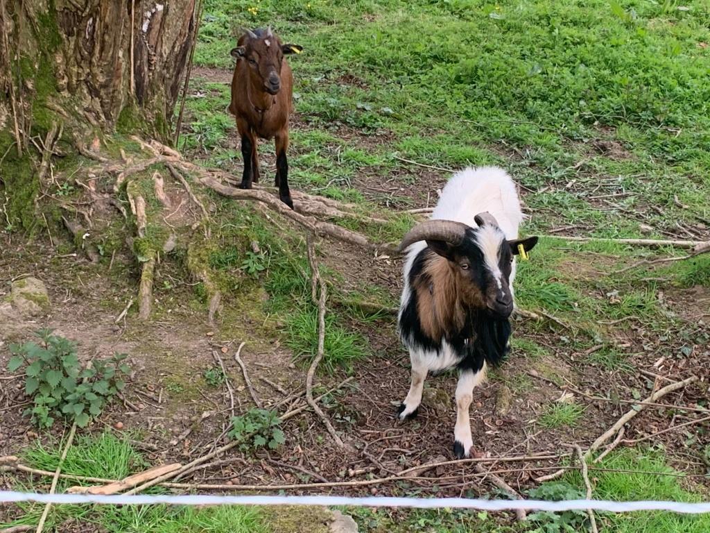 BRICK & BUNAMA - Chèvre et bouc nains 4a4d6b10