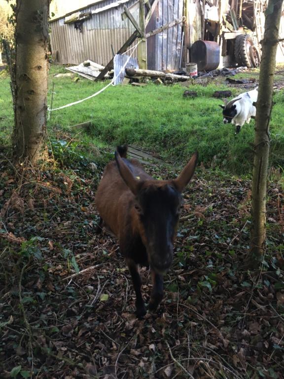 IDEM - Chèvre réformée d'élevage 4c864310