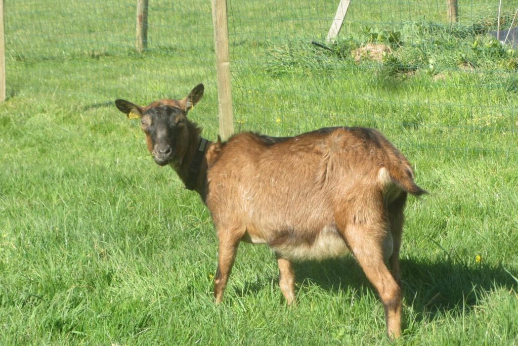 INNOCENTE &  sa fille PRUNELLE - Chèvres alpines 57d1ed10