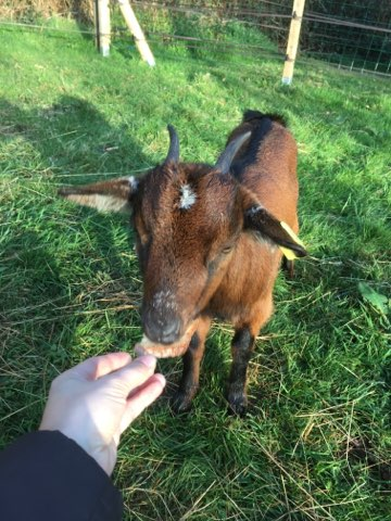 BRICK & BUNAMA - Chèvre et bouc nains 5e8f2a10