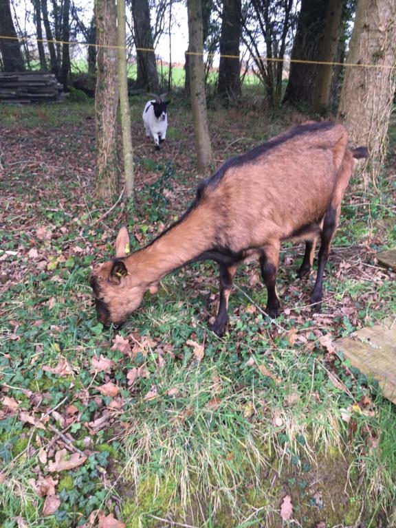 IDEM - Chèvre réformée d'élevage 5f5fbd10