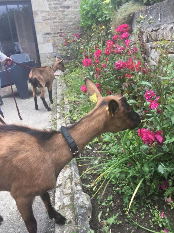 IDEM - Chèvre réformée d'élevage 62d10310