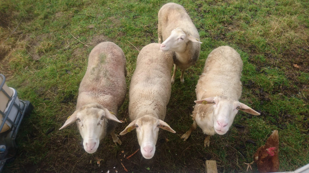 Marge, Molly, Feta et Rita -  Brebis Lacaune  65c85c10